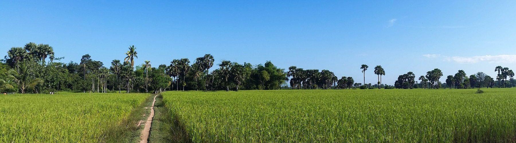 rice-fields-603416_1920